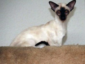 Lily of Two Felines Chocolate Point Siamese