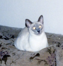 Lilac point Siamese female cat on living room sofa missing house mate