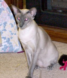 taming of the wild Siamese cat blue point on living room floor