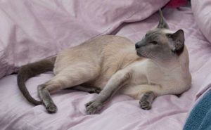 blue point Siamese female cat laying on the bed