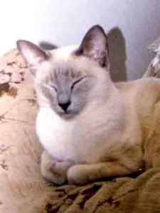 blind lilac point Siamese female cat laying on the sofa in the living room