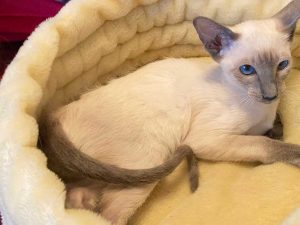 Blue point Siamese female kitten laying in yellow cat bed