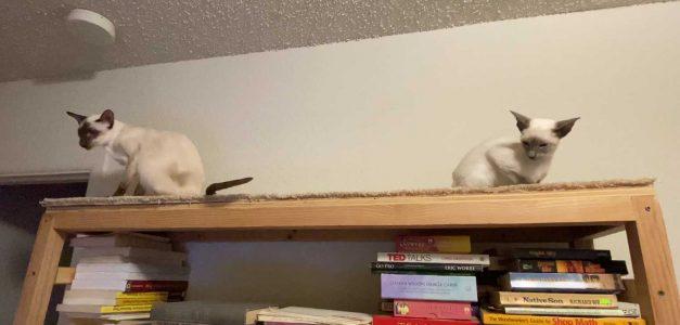 Siamese kittens in February