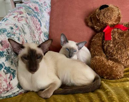 chocolate and blue point Siamese kittens