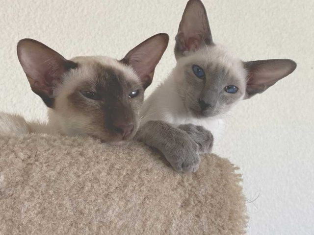 chocolate and blue point siamese cats on the top of the cat tree in the living room