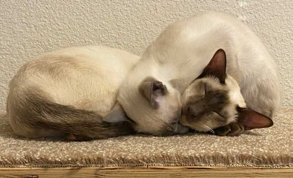 blue point and chocolate point female Siamese cats taking a nap together on a carpeted office shelf