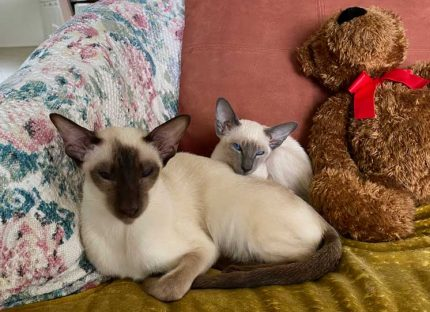 Happy Siamese female cats laying together on living room chair with brown stuffed bear