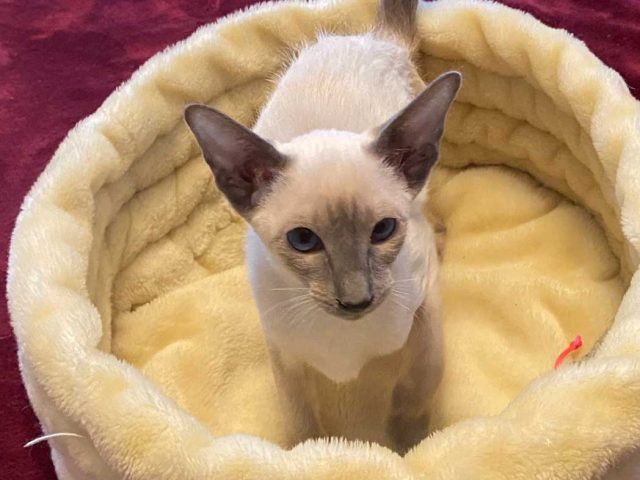 Blue Point Siamese kitten in yellow cat bed