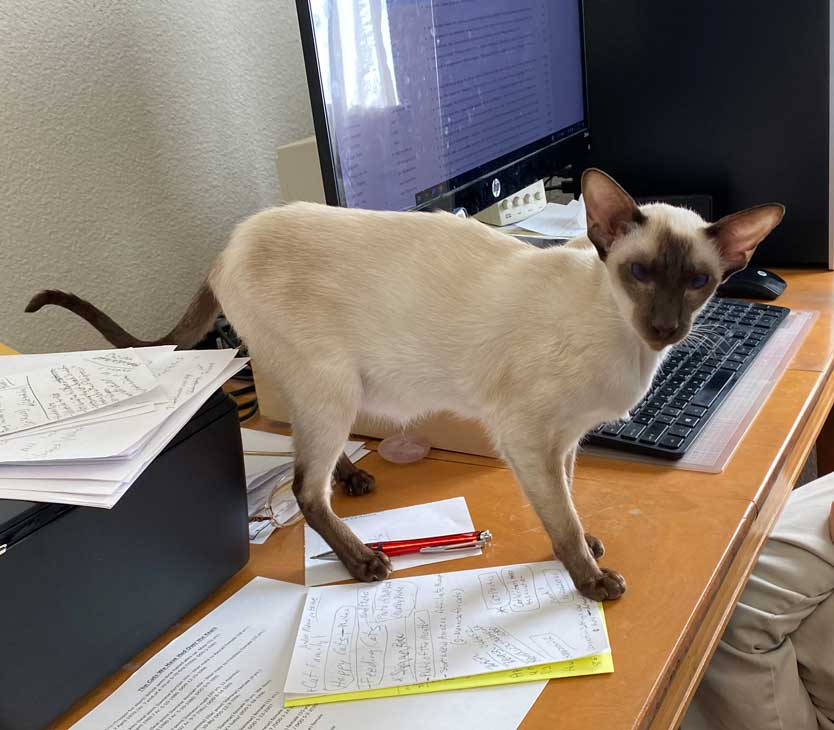 Suanese cat in office