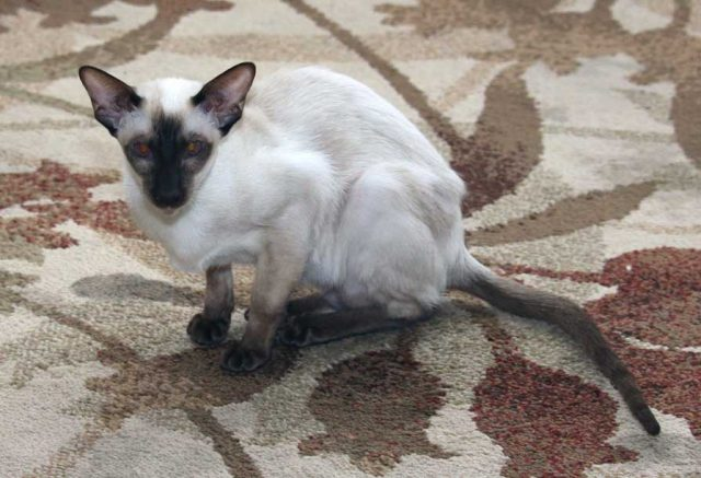 Chocolate Point Siamese kitten on living room floor