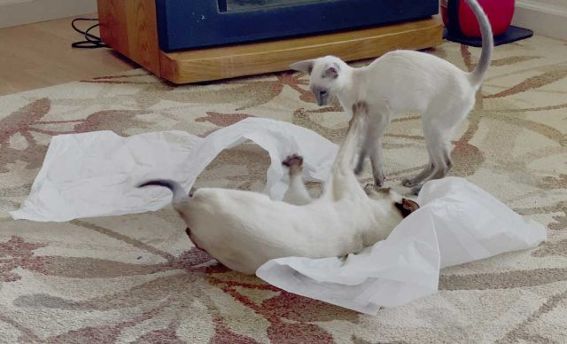 chocolate and blue point Siamesecats playing in tissue paper on the living room floor