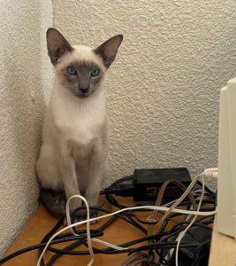 Siamese kitten in the office