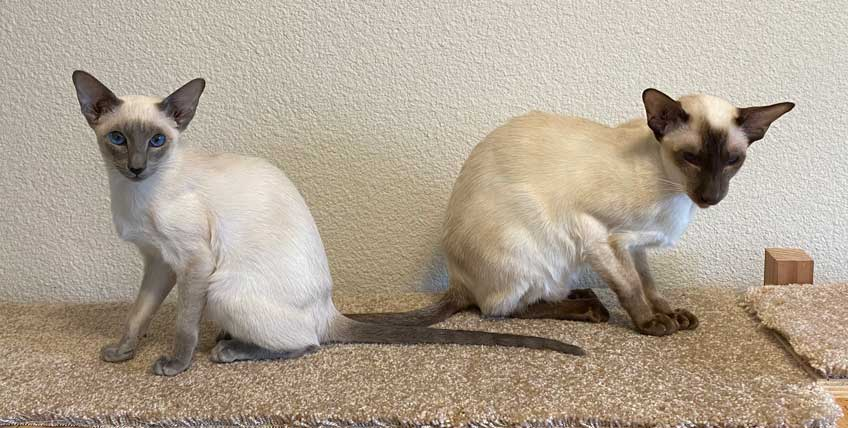 Siamese cats in office