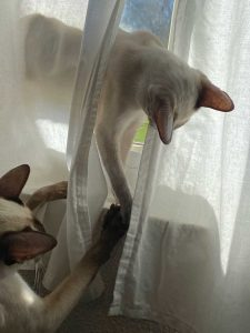 Siamese cats playing in curtain