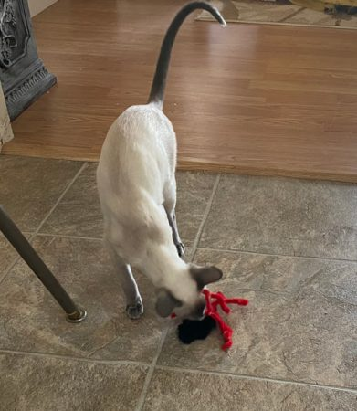 Siamese playing with spider cat toy