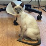 Spayed cat in e-collar