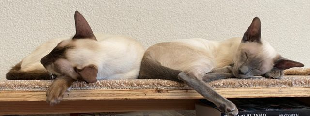 Chocolate and blue point female Siamese cats taking a nap on carpeted book shelf in home office