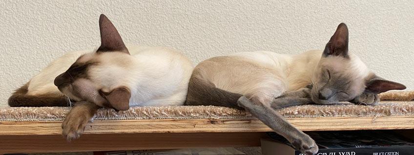 Siamese taking a nap