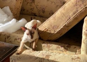 Bissell Shampoo upholstery cleaning, cleaned sofa cushions and a new place for Siamese cats to play