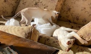 Bissell cleaned these cushions and Siamese cats found a way to have fun while the cushions dried.