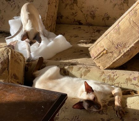 Bissell Shampooer uphosltery cleaned cushions and Siamese cats found a way to play in them while they were drying