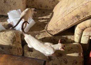 Bissell cleaned upholstery with Siamese cats at play