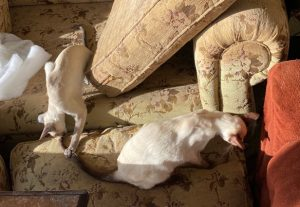 cats and cleaned sofa cushions entertain 2 Siamese kittens
