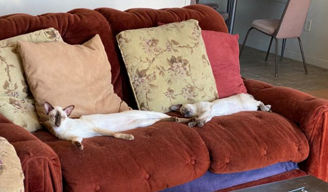 Chocolate and blue point Siamese cats lounging on a love seat relaxed and in loving home