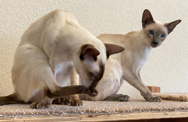 Chocolate and blue point Siamese female cats sitting on a carpeted office shelf built for them.