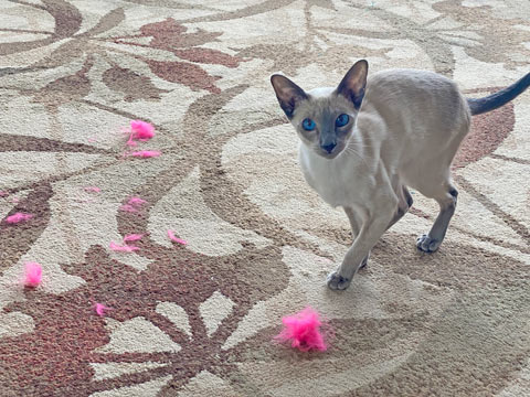 b;ue point Siamese cat destroyed a pink cat toy ball