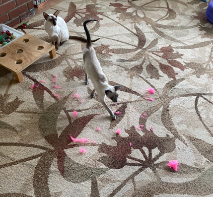 blue point Siamese cat and a destroyed cat toy pink ball