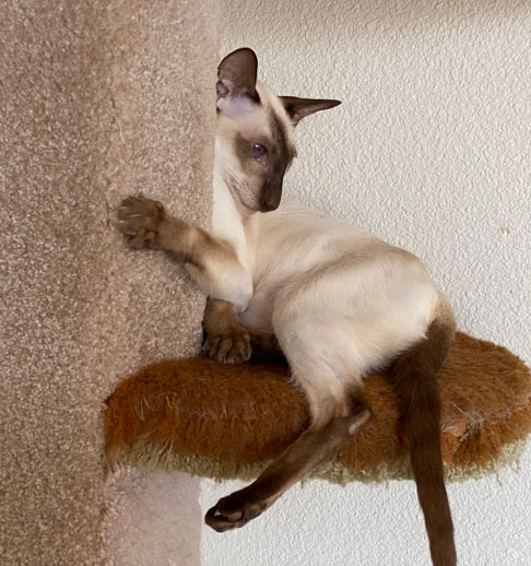 Chocolate point Siamese cat hanging on a cat tree shelf playing one of the cats with red gums