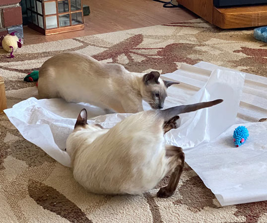 Siamese cats playing together with tissue paper in the living room