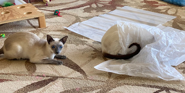 Siamese cat hiding under tissue paper and the other Siamese is waiting to bounce
