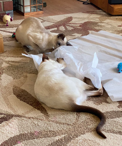 Blue point and chocolate point Siamese cats playing in the living room with tissue paper