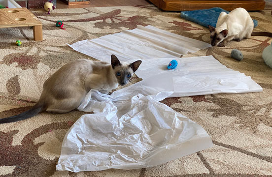 Siamese cats playing and one is stalking ready to jump on the other one.