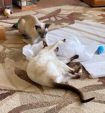 Siamese cats playing on paper tissue in the living room in the afternoon