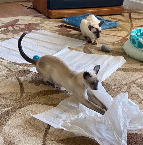 Siamese blue point cat sliding into tissue paper on living room carpet