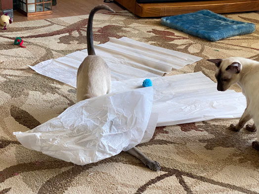 Siamese cats playing under tissue paper in the living room on cat's birthday