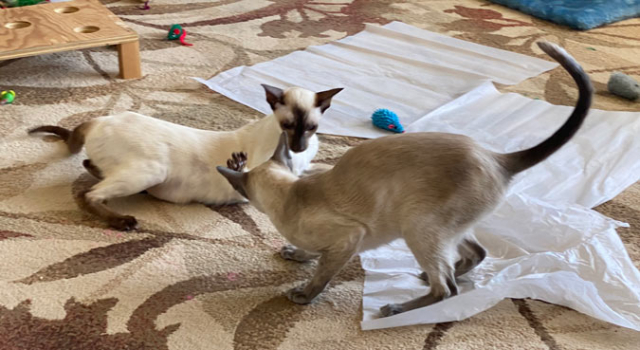 SIamese cats playing in the living room