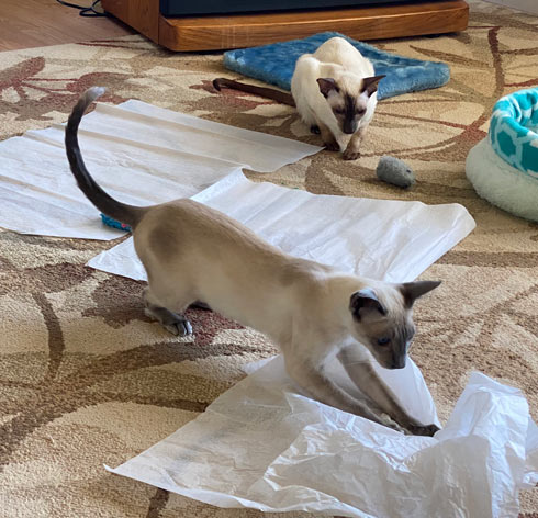 Siamese cats playing in the living room with tissue paper and toy mice.