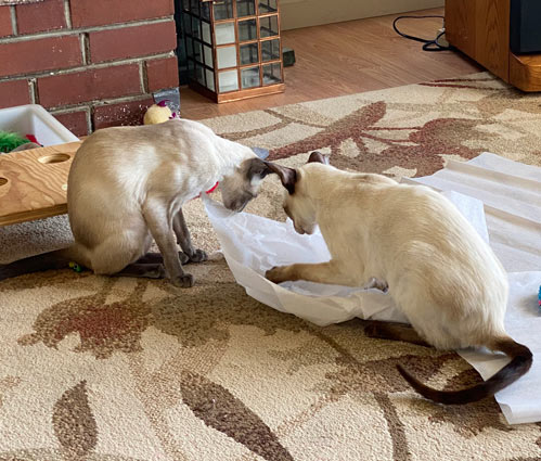 Siamese cats looking to find out what is under the tissue paper in the living room