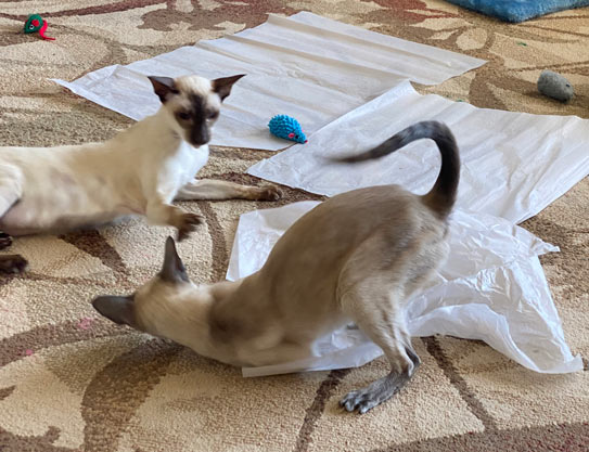 Siamese cats playing in the living room in the sun